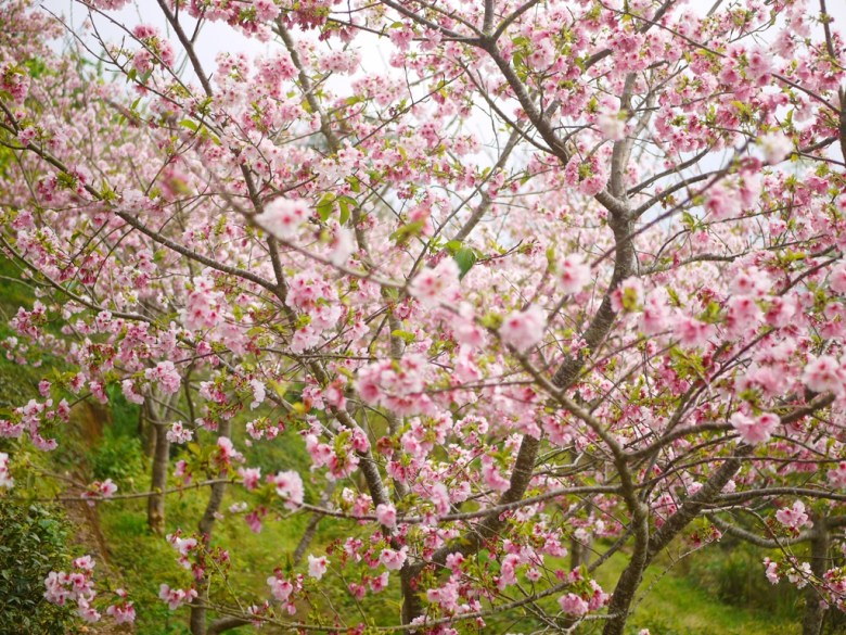 吉野櫻花海 | 滿滿櫻花海 | 絕美景色 | 日本風情 | ジューシャン | Zhushan | Nantou | RoundtripJp