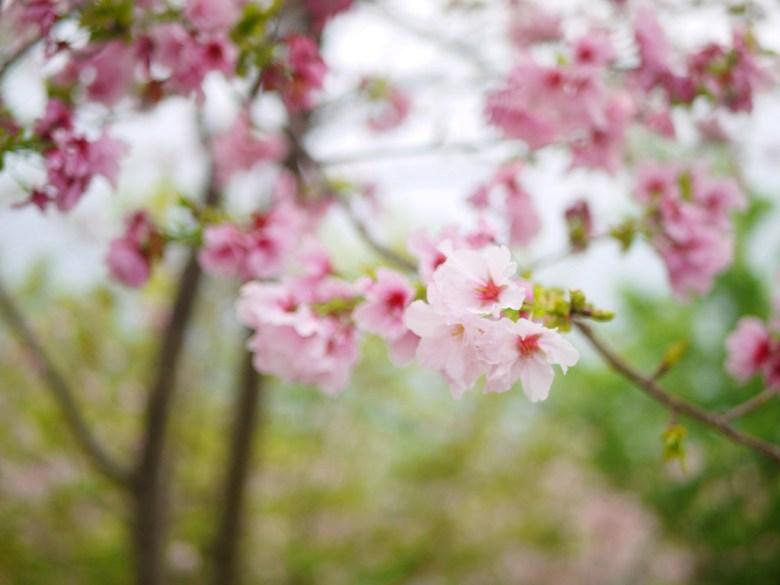 淡雅的粉色吉野櫻 | 日本風情 | ジューシャン | Zhushan | Nantou | RoundtripJp