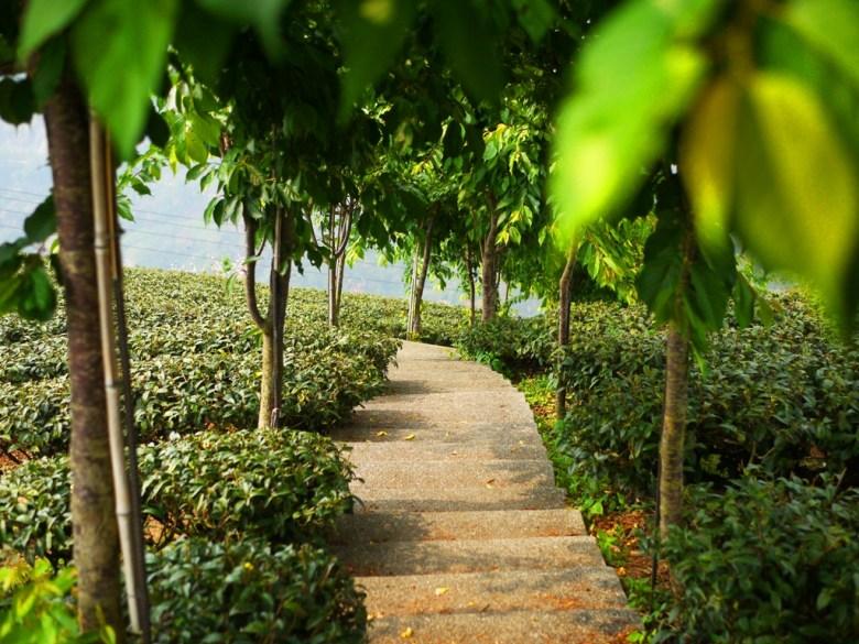 悠悠茶園步道 | 縱橫連貫的茶園 | 排列整齊 | 南投八卦茶園 | 竹山 | 南投 | 巡日旅行攝