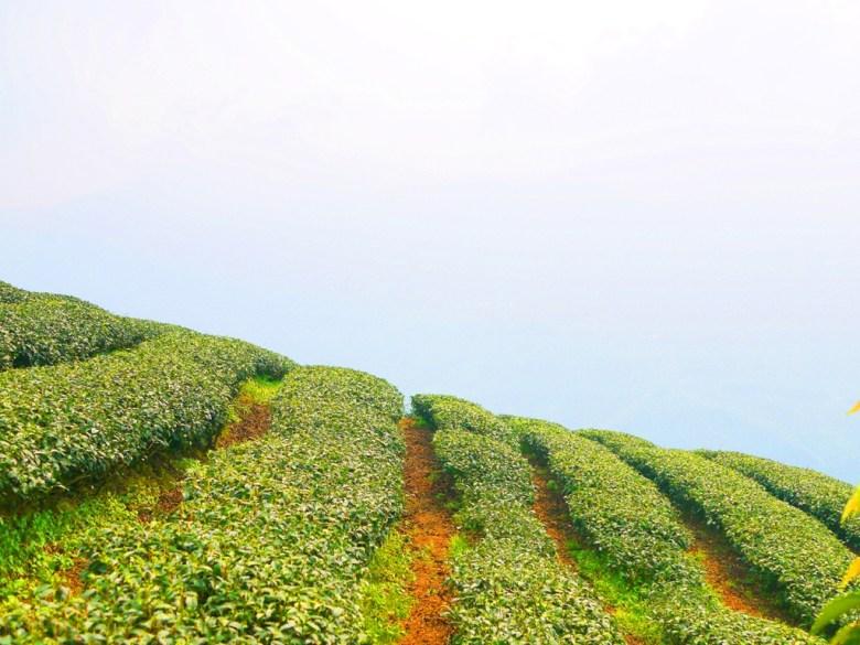 被高山雲霧包圍的茶樹 | 滿滿雲霧 | 茶樹 | 南投八卦茶園 | 竹山 | 南投 | 巡日旅行攝