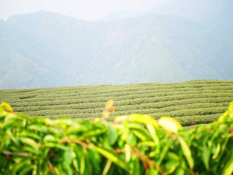 一片綠意 | 整齊的茶園 | 高山雲霧 | 茶樹 | 南投八卦茶園 | 竹山 | 南投 | 巡日旅行攝