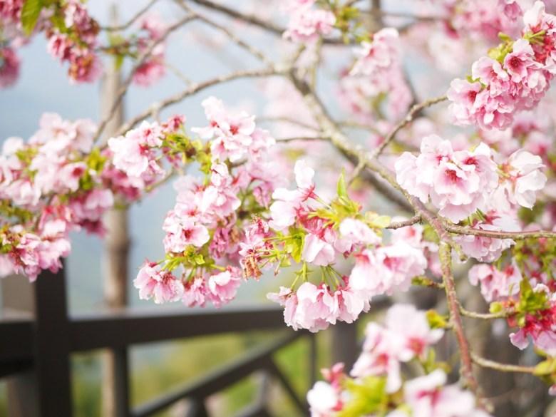 雲霧中的絕美櫻花 | 吉野櫻 | 高山櫻花 | 粉嫩粉紅 | Zhushan | Nantou | RoundtripJp