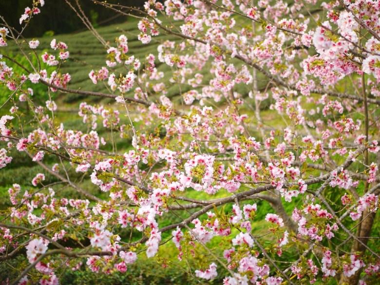 滿滿的櫻花 | 盛開的吉野櫻 | 高山櫻花 | 高山茶園 | Zhushan | Nantou | RoundtripJp