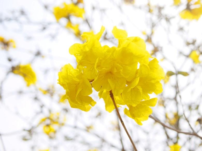 黃花風鈴木 | 黃金風鈴木 | 山腳國小 | Shan-jiao Elementary School | 苑裡 | 苗栗 | 一抹和風 | 巡日旅行攝