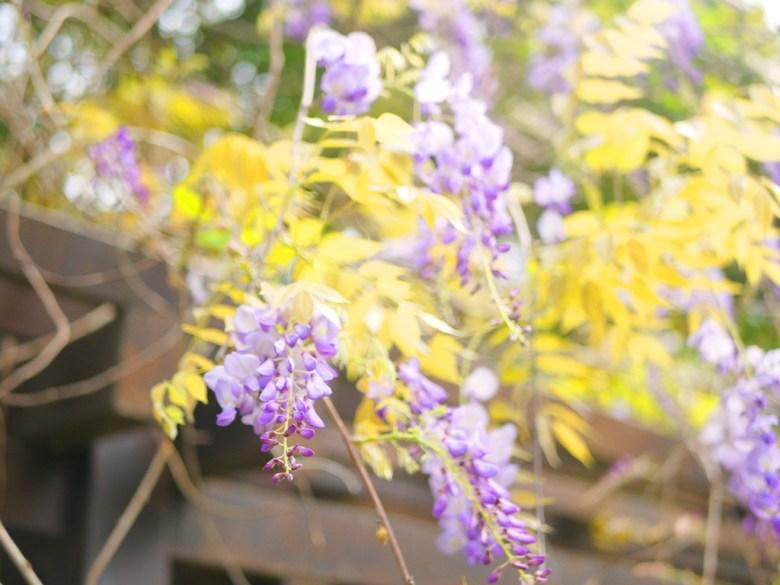 絕美紫藤花 | 日本味 | 苑裡 | 苗栗 | ユエンリー | ミアオリー | 巡日旅行攝