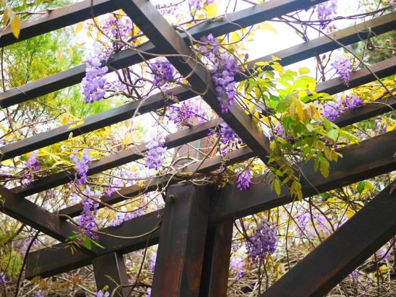 紫藤花隧道 | 山腳國小 | 苑裡 | 苗栗 | ユエンリー | ミアオリー | 巡日旅行攝