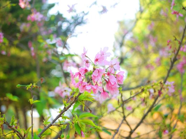 美麗的櫻花 | 八重櫻 | 山櫻花銅 | 鑼環保公園 | 櫻花公園 | 銅鑼 | 苗栗 | トンルオ | ミアオリー | Tongluo | Miaoli | 巡日旅行攝