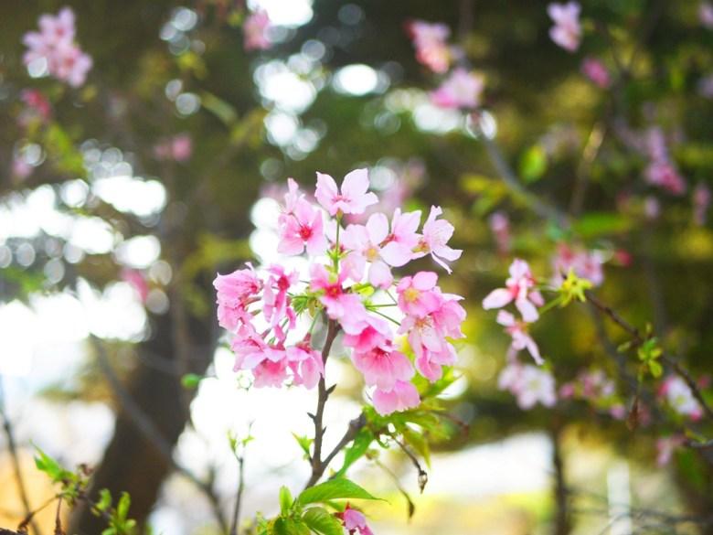 粉嫩的山櫻花 | 八重櫻 | 銅鑼 | 苗栗 | トンルオ | ミアオリー | Tongluo | Miaoli | RoundtripJp
