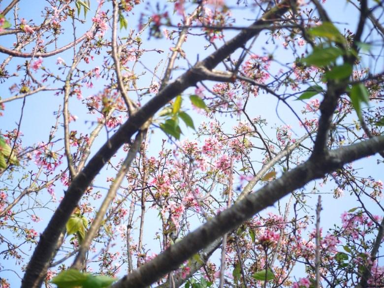 櫻花與藍天 | Sakura | さくら | サクラ | 銅鑼 | 苗栗 | トンルオ | ミアオリー | Tongluo | Miaoli | 巡日旅行攝