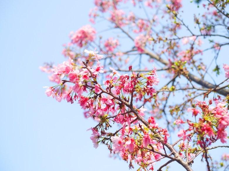藍藍的天空 | 粉紅的櫻花 | 銅鑼 | 苗栗 | トンルオ | ミアオリー | Tongluo | Miaoli | 巡日旅行攝