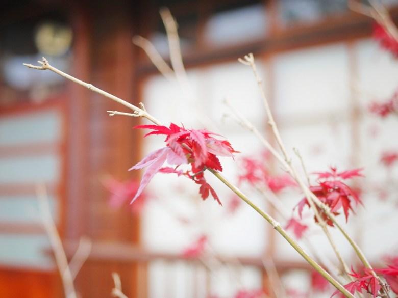 紅葉 | 楓紅 | 槭樹 | 日本味 | 第二棟日式宿舍建築 | 12號 | 14號 | 二戶建官舍 | 判任丙種官舍二戶建 | Dongshi | Taichung | 巡日旅行攝