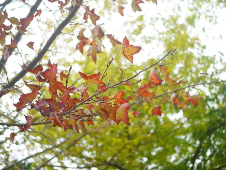 美麗的楓葉 | 槭樹 | 青楓 | Dasyueshan National Forest Recreation Area | 收費站後第一個停車場 | RoundtripJp