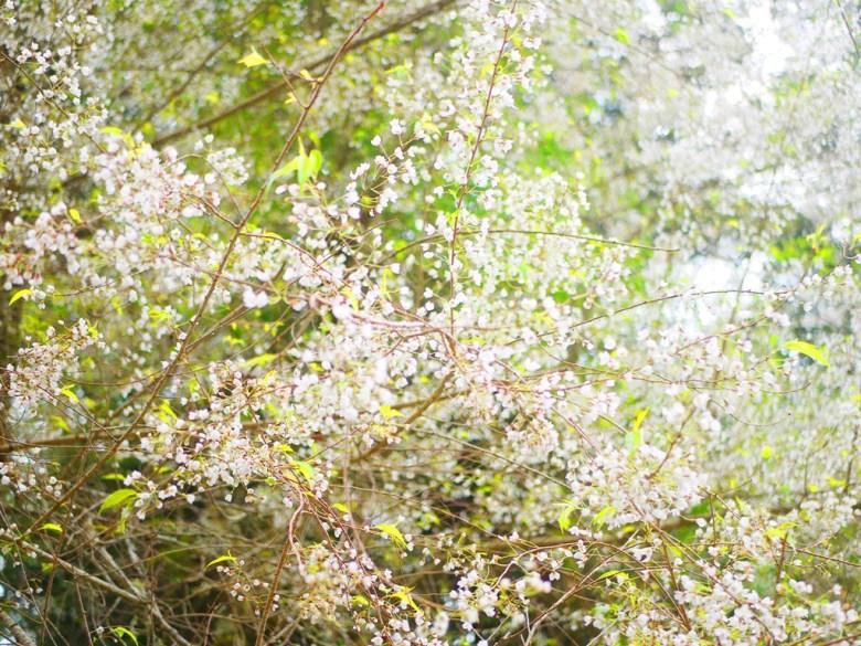 絕美霧社櫻 | 白色櫻花 | 臺灣固有種 | 第一個停車場後往上沿途的櫻花 | 大雪山國家森林遊樂區 | 和平 | 台中 | RoundtripJp