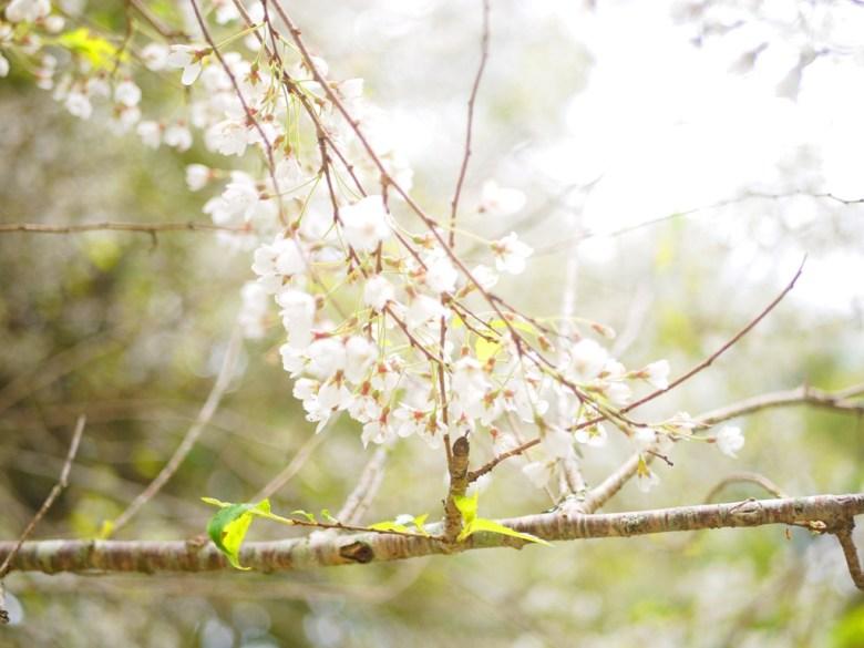 霧社山櫻花 | 潔白夢幻 | 臺灣固有種 | 第一個停車場後往上沿途的櫻花 | 大雪山國家森林遊樂區 | 和平 | 台中 | RoundtripJp
