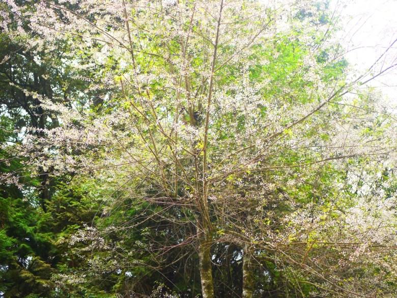 盛開的霧社山櫻花 | 臺灣固有種 | 第一個停車場後往上沿途的櫻花 | 大雪山國家森林遊樂區 | 和平 | 台中 | RoundtripJp
