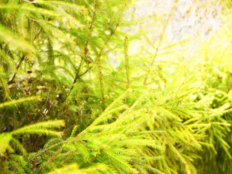 臺灣雲杉 | 大雪山遊客中心停車場出口 | 大雪山國家森林遊樂區 | 和平 | 台中 | RoundtripJp