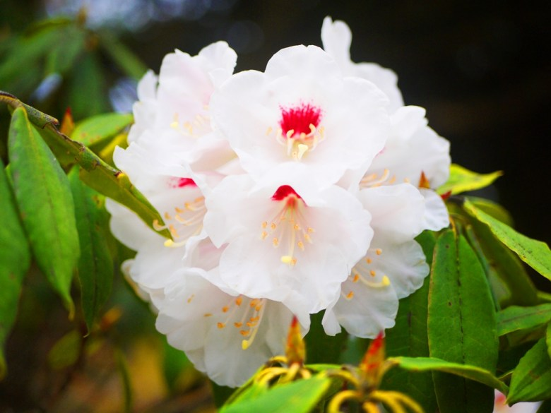玉山杜鵑 | 白裡透紅 | 自然生態 | 大雪山國家森林遊樂區 | 和平 | 台中 | 巡日旅行攝
