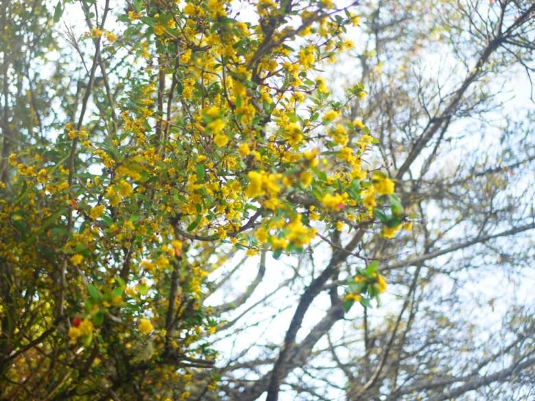 盛開的美麗黃花 | 天池旁樹木 | 自然生態 | 大雪山國家森林遊樂區 | 和平 | 台中 | 巡日旅行攝