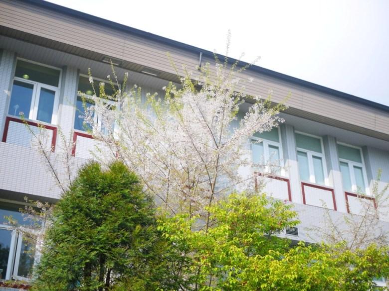 大雪山旅客中心後方 | 霧社櫻 | 美麗的白色櫻花 | 大雪山國家森林遊樂區 | 和平 | 台中 | 巡日旅行攝