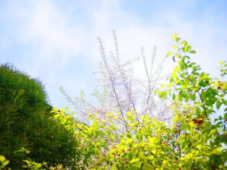 大雪山旅客中心後方 | 霧社櫻 | 美麗的白色櫻花 | 大雪山國家森林遊樂區 | 和平 | 台中 | RoundtripJp