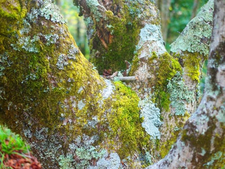 青苔巨樹 | 豐富的林相 | 大雪山國家森林遊樂區 | 和平 | 台中 | RoundtripJp