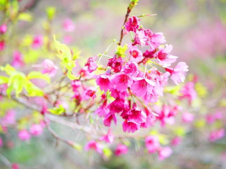 往大雪山沿途的美麗粉紅山櫻花 | 大雪山國家森林遊樂區 | 和平 | 台中 | 巡日旅行攝