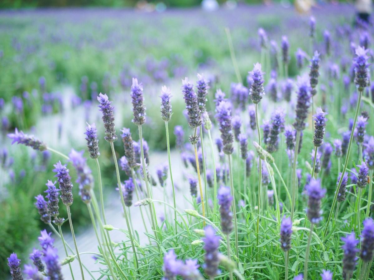 濃濃薰衣草花香的薰衣草花海 | 紫色夢幻 | 日本味 | 齒葉薰衣草 | トウウー | ミアオリー | 和風臺灣 | 巡日旅行攝