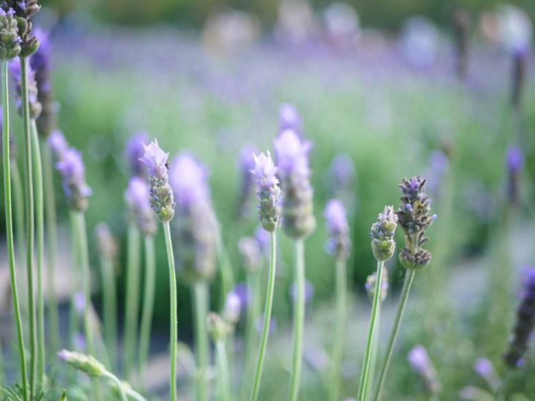 有香味的薰衣草 | 齒葉薰衣草 | 夢幻的紫色 | 日本味 | Touwu | Miaoli | 巡日旅行攝