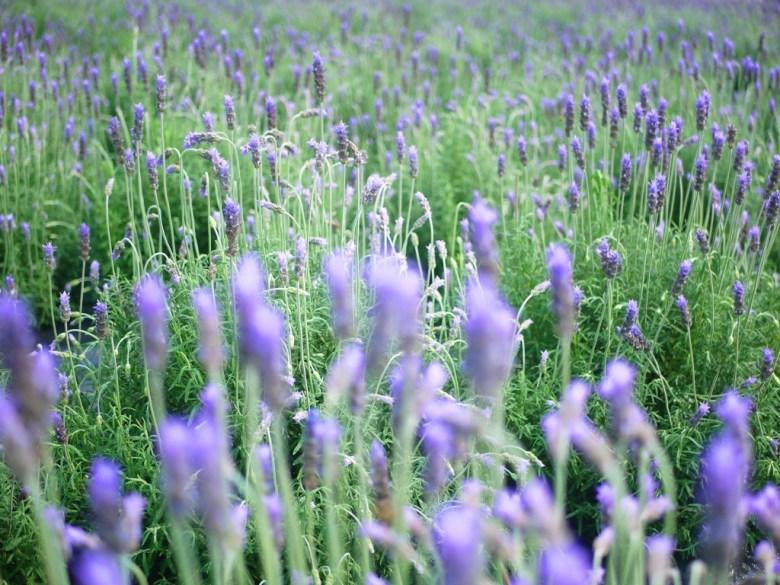 綿延不絕的薰衣草 | 滿開 | 花香 | 薰衣草花海 | Lavender | Touwu | Miaoli | 巡日旅行攝