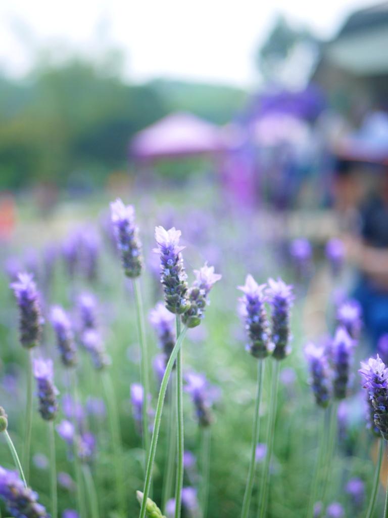 Lavender | 齒葉薰衣草 | 臺灣旅人 | 葛瑞絲香草田 | 頭屋 | 苗栗 | 巡日旅行攝