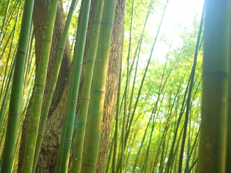 竹林小徑一隅 | 綠色的竹子 | 綠色景點 | 感受大自然 | 烏嘎彥竹林 | 泰安 | 苗栗 | 巡日旅行攝
