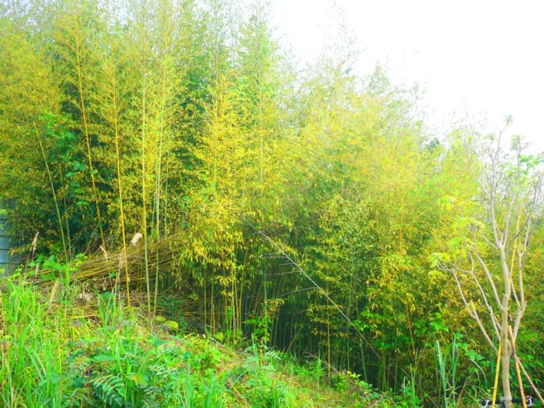 滿坑滿谷的竹林 | 綠色自然 | 舒適放鬆 | 高山 | 泰安 | 苗栗 | RoundtripJp
