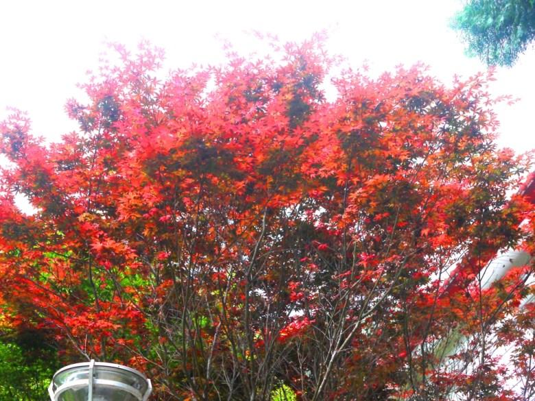 盛開的紅葉 | 槭樹 | Aowanda National Forest Recreation Area | Qinai | Renai | Nantou | Wafu Taiwan | 巡日旅行攝