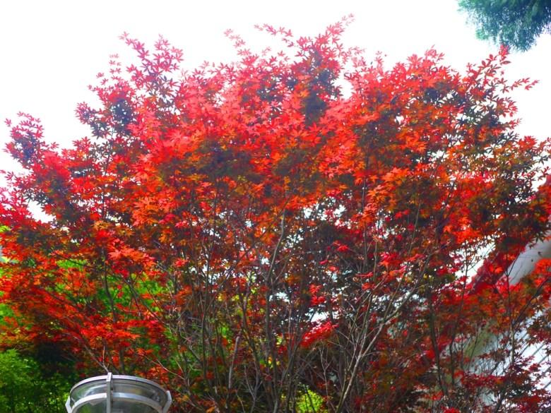 艷紅的紅葉 | 槭樹 | Aowanda National Forest Recreation Area | Qinai | Renai | Nantou | 和風巡禮 | RoundtripJp