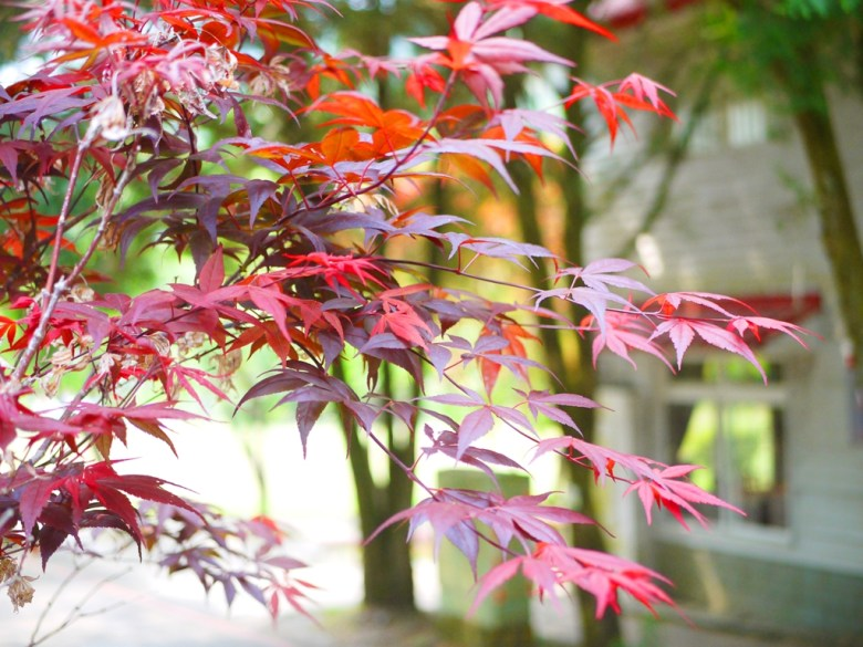 絕美的紅葉 | 槭樹 | 日本味 | 奧萬大國家森林遊樂區 | レンアイ | ナントウ | RoundtripJp