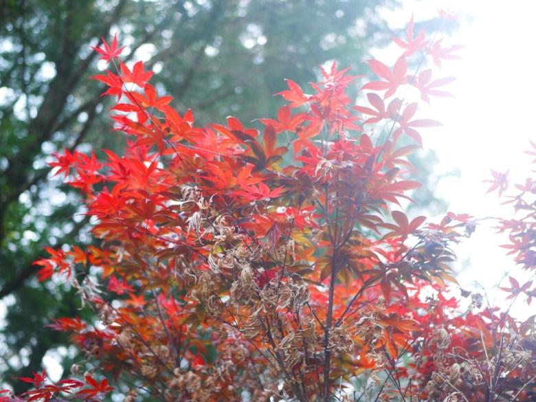 紅葉 | 槭樹 | 楓葉的故鄉 | 奧萬大國家森林遊樂區 | レンアイ | ナントウ | 巡日旅行攝