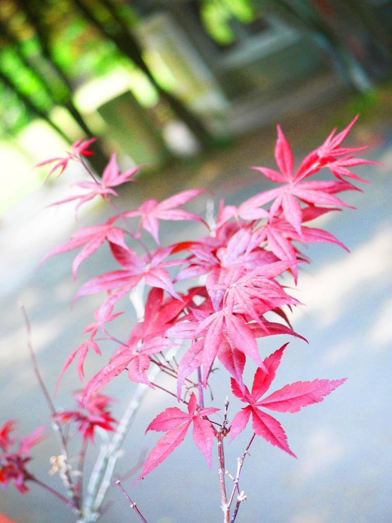 一抹紅葉 | 槭樹 | 浪漫約會勝地 | 奧萬大國家森林遊樂區 | レンアイ | ナントウ | 巡日旅行攝