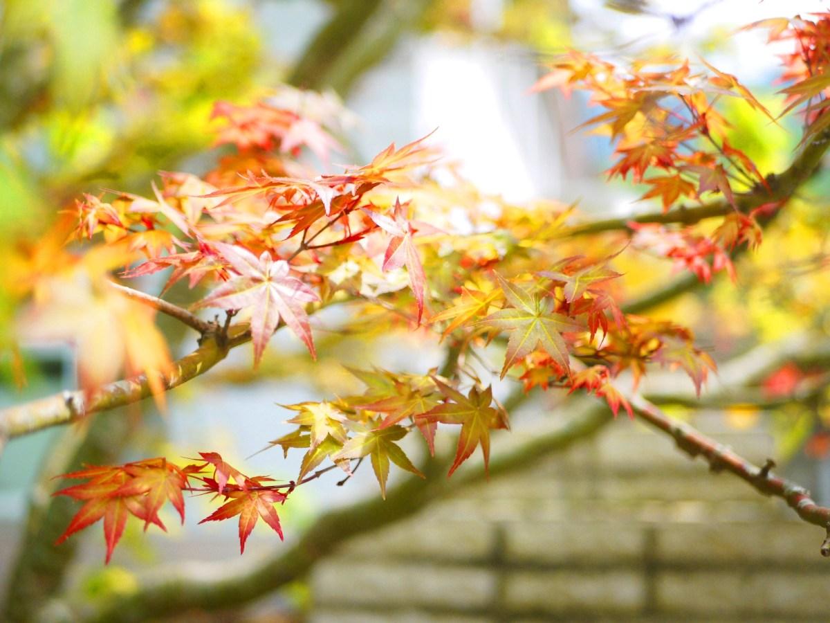 紅葉   春楓   楓葉   Maple   日本味   奧萬大國家森林遊樂區   レンアイ   ナントウ   RoundtripJp