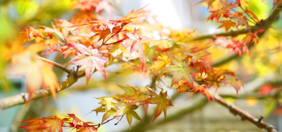 紅葉 | 春楓 | 楓葉 | Maple | 日本味 | 奧萬大國家森林遊樂區 | レンアイ | ナントウ | RoundtripJp
