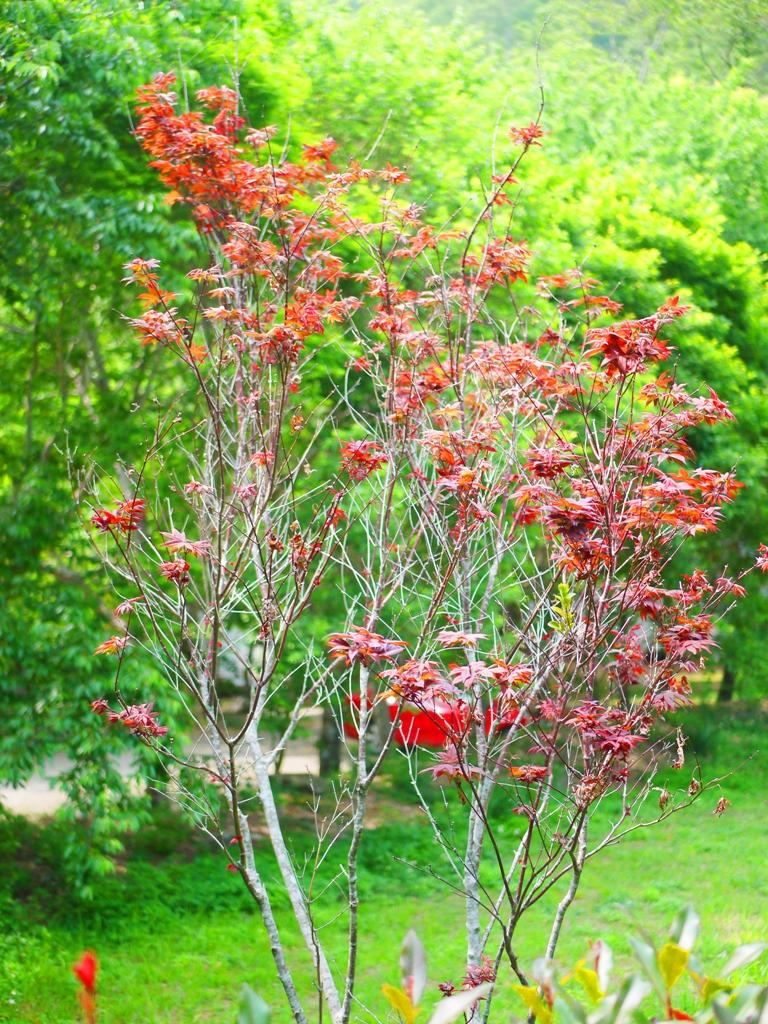 紅葉 | 槭樹 | 春天的紅葉 | Aowanda National Forest Recreation Area | Qinai | Renai | Nantou | RoundtripJp