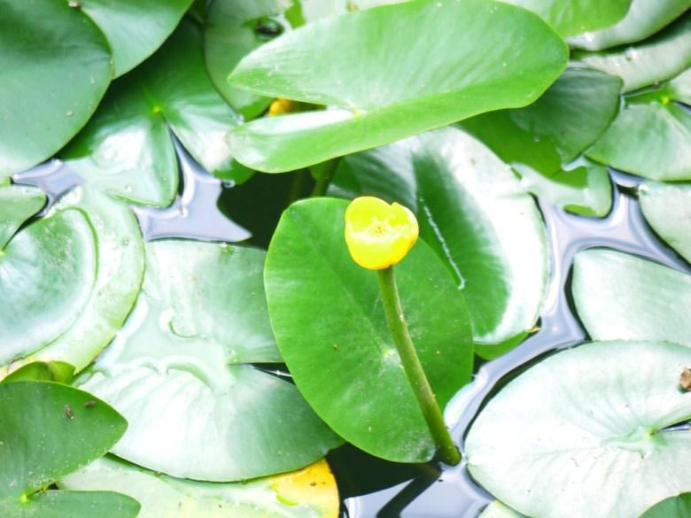 水生植物 | 美麗小黃花 | 生態池 | Ecological Pond | 奧萬大國家森林遊樂區 | レンアイ | ナントウ | 巡日旅行攝
