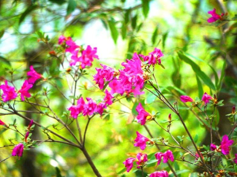 桃紅色的美麗花卉 | 奧萬大國家森林遊樂區 | レンアイ | ナントウ | 巡日旅行攝