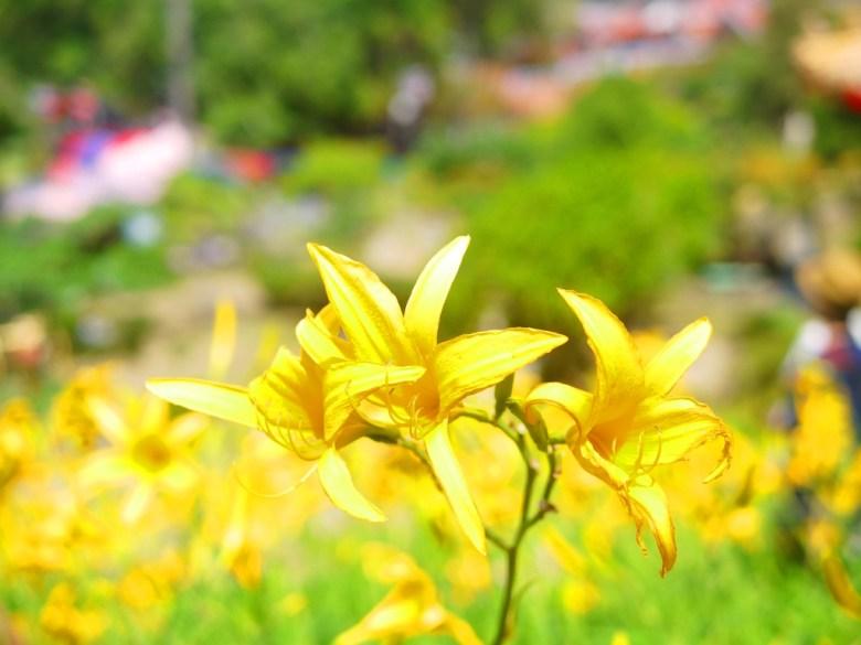 充滿生命力的金針花   黃澄澄   鮮豔動人   Huatan   Changhua   RoundtripJp   巡日旅行攝