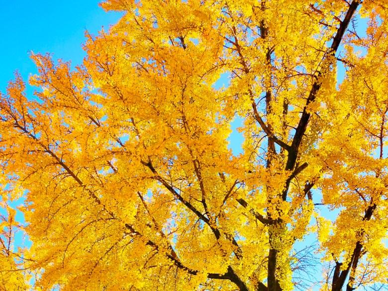 秋天的風景 | 日本秋季旅遊 | 滿開的銀杏 | 黃葉 | 金葉 | 銀杏 | 日本 | Japan | 巡日旅行攝 | RoundtripJp