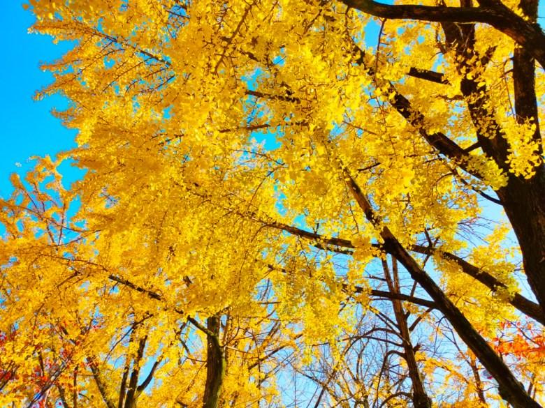 知曉秋天的一葉金黃   黃金天空  滿是銀杏金黃之美   日本   Japan   巡日旅行攝   RoundtripJp