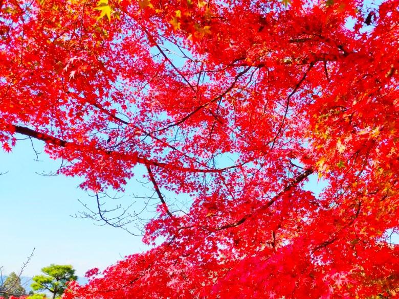 秋天的風景   日本秋季旅遊   楓葉   紅葉   楓景   日本   Japan   巡日旅行攝   RoundtripJp
