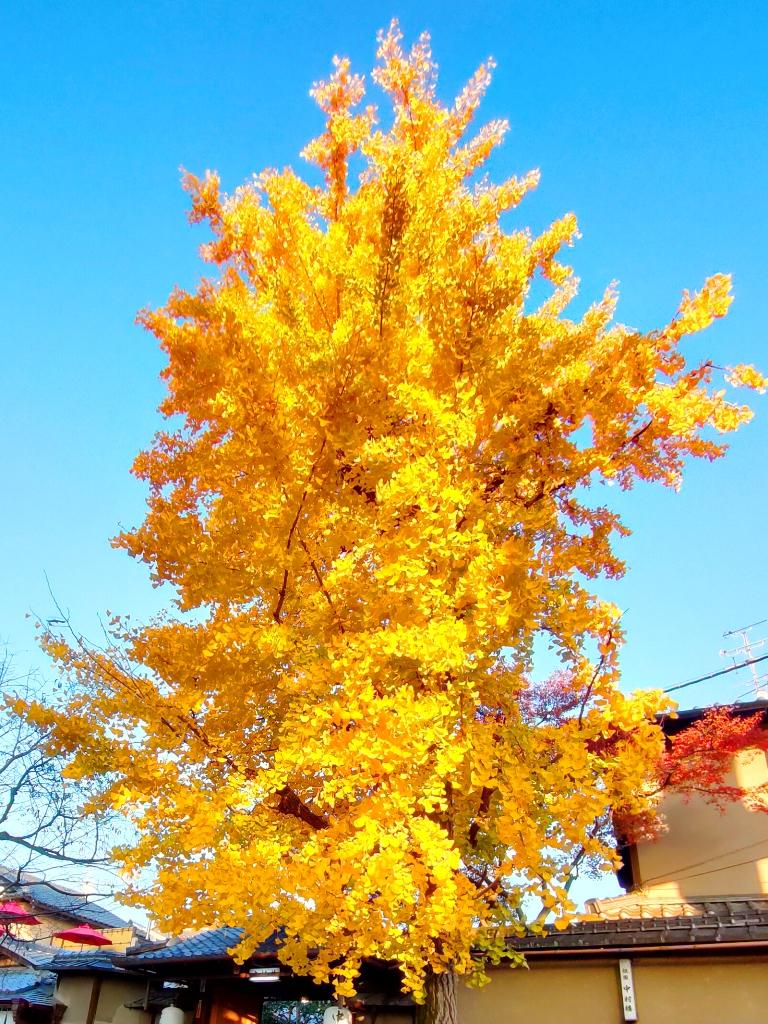 知曉秋天的一葉金黃   盛開的銀杏之美   黃金吉祥   日本   Japan   巡日旅行攝   RoundtripJp