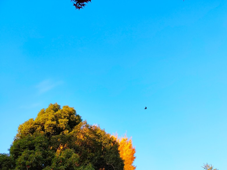 滿開的銀杏   綠樹   大自然   飛鳥與青空   銀杏   黃葉   金葉   日本   Japan   巡日旅行攝   RoundtripJp