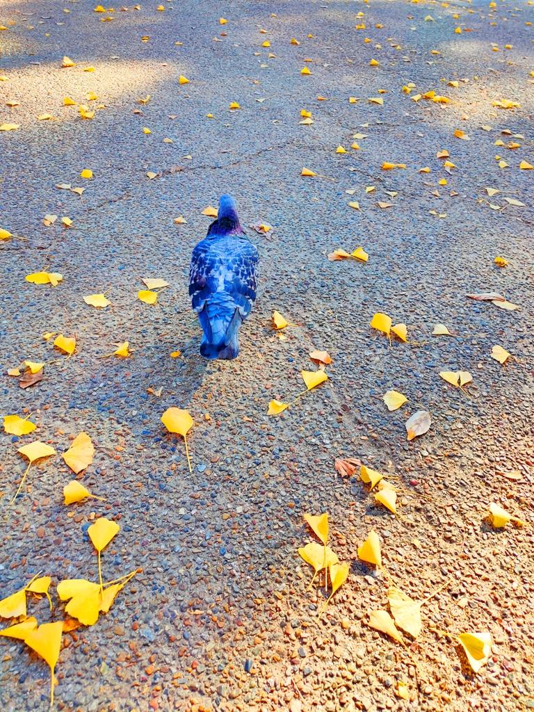 知曉秋天的一葉金黃   鴿子與銀杏葉   可愛風景   日本   Japan   巡日旅行攝   RoundtripJp