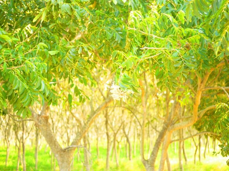 無患子樹   具有經濟價值與環保的樹種   天然清潔劑  先人的智慧   ホウリー   タイジョン   Wafu Taiwan   巡日旅行攝   RoundtripJp